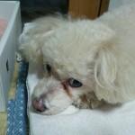 老犬の病気のサイン