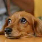 老犬と白内障
