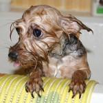 老犬介護の仕方~老犬のシャンプー~