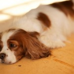 老犬の更年期障害?