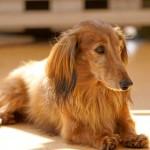 犬の心臓マッサージと人工呼吸