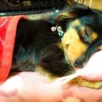 老犬と睡眠