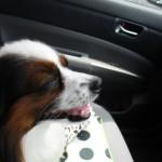 愛犬と安全にドライブを楽しむために♪