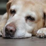 高齢犬や老犬の夏の疲れをケアしよう!
