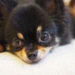 犬の結膜炎とちょっとした目のお話。