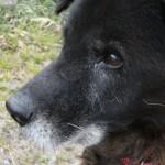 老犬介護の仕方~夜鳴き・吠えの介護~