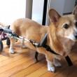 犬用車椅子_装着