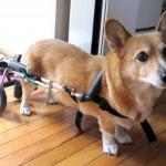 犬用車椅子って、どんな時に必要?