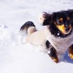 冬の犬のしもやけにご注意を!
