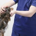 老犬とワクチン