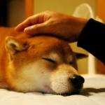 老犬のストレスサインとストレス解消法
