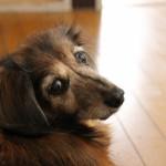 老犬にDHAとEPA、どんな働き?