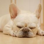 犬のいびきは危険信号?